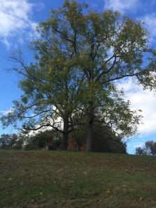 BlWalnutTrees