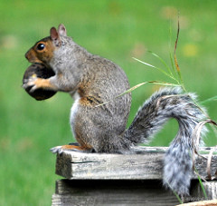 Squirrelwithblackwalnut